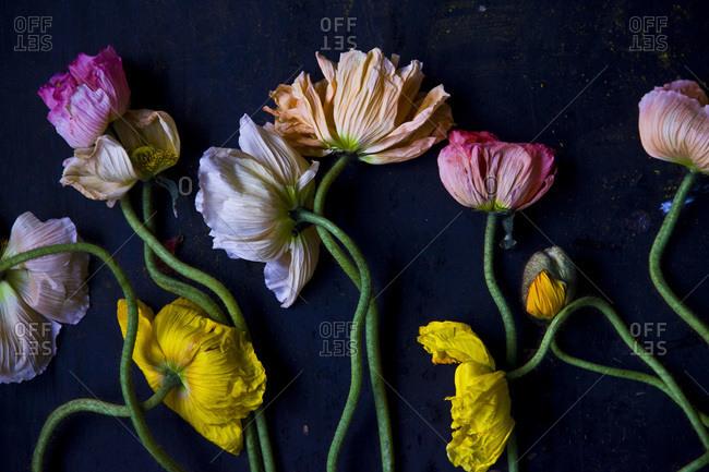 A still life of poppies