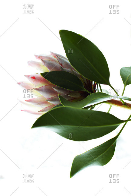 Exotic flower and green leaves on bright white background