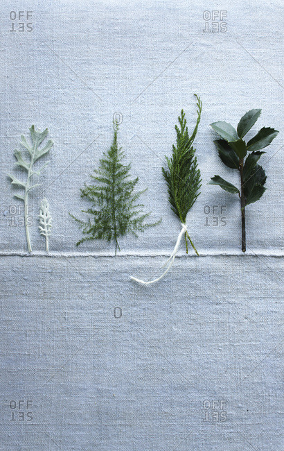 Four small evergreen twigs in a row that look like mini trees on pale blue cloth