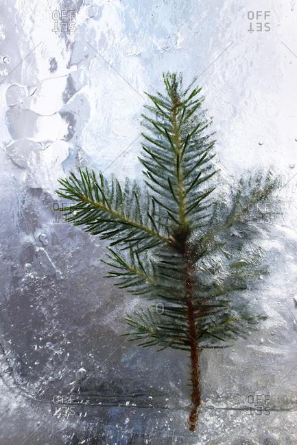 Evergreen twig frozen in ice