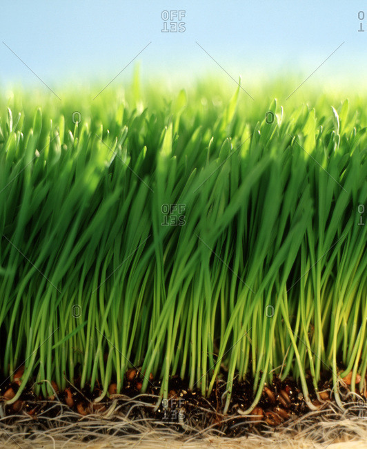 Close up split view of green grass with dirt, roots and blue sky
