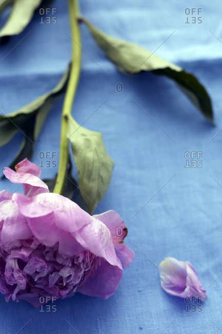 Peony stem lying on blue cloth with single petal beside flower