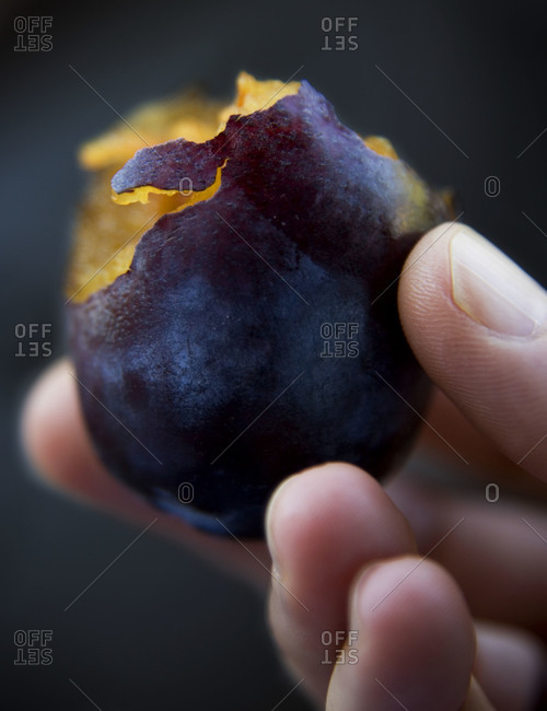 Hand holding plum with a bite out of it and flesh is very yellow
