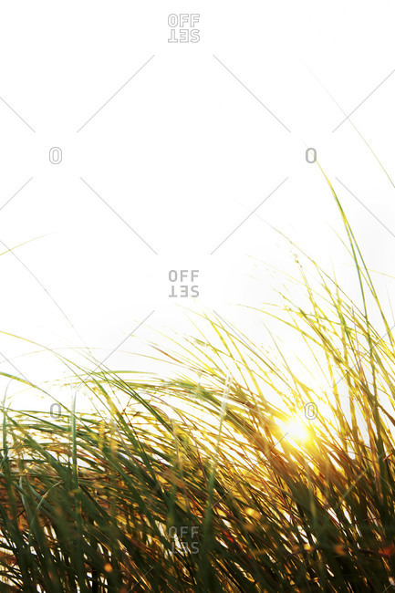 Beach grass with sunset.