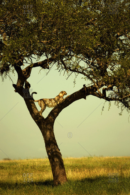 Leopard positioned between branches in tree on Serengeti Plains
