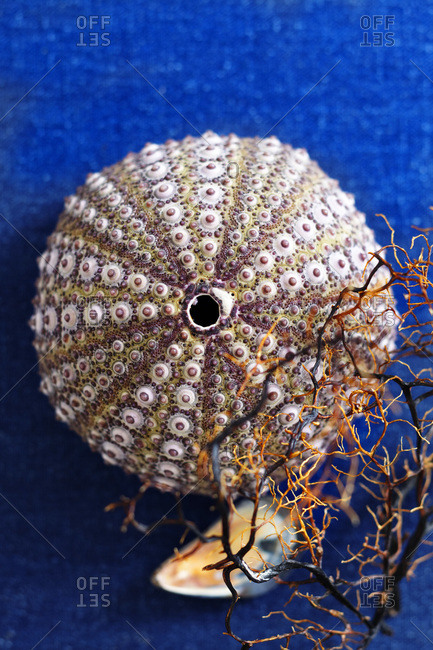 Sea urchin shell with a piece of a coral fan and mussel shell on brilliant blue cloth