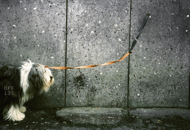 A dog on a leash chained to a wall