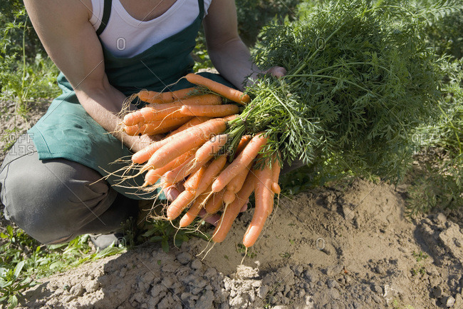 Farm worker holding freshly picked bunch of carrots