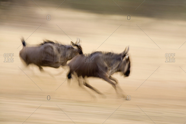 Two wildebeest running - Offset Collection