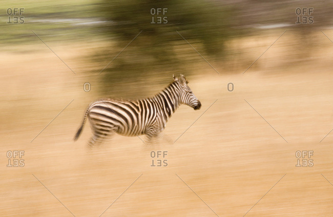 A zebra running - Offset Collection