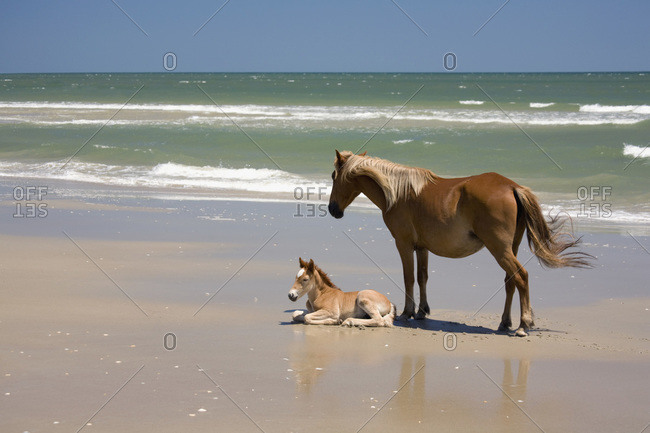 A wild Banker Pony mare and her foal, Outer Banks, North Carolina