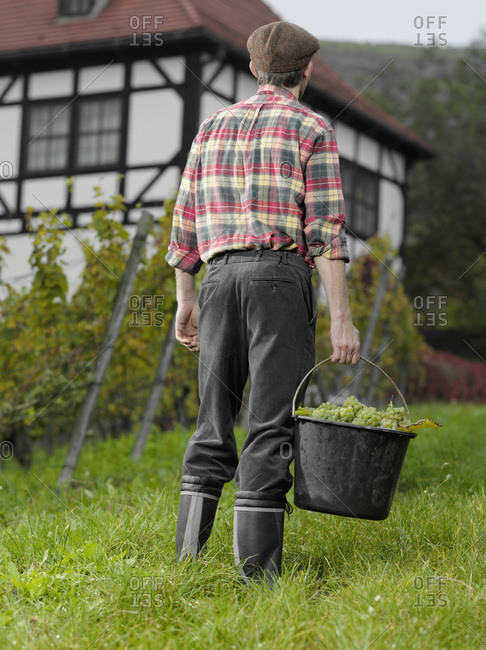 A vintner carrying a bucket of grapes, rear view