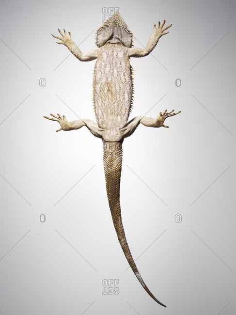 Frill-necked lizard from below.