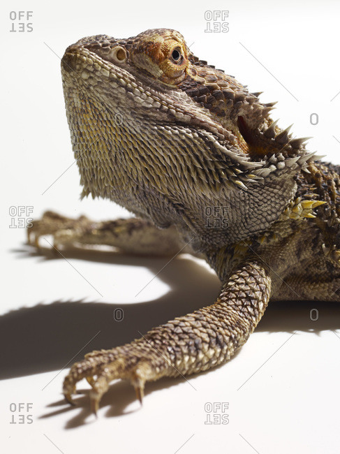 Close up of a frill-necked lizard.
