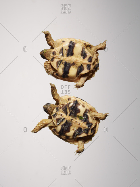 Two small turtles from below.