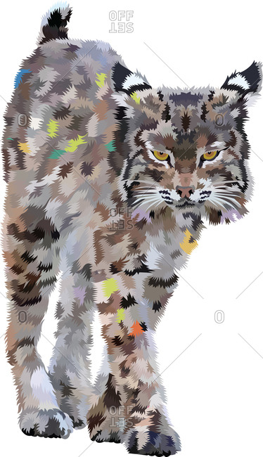 A bobcat walking