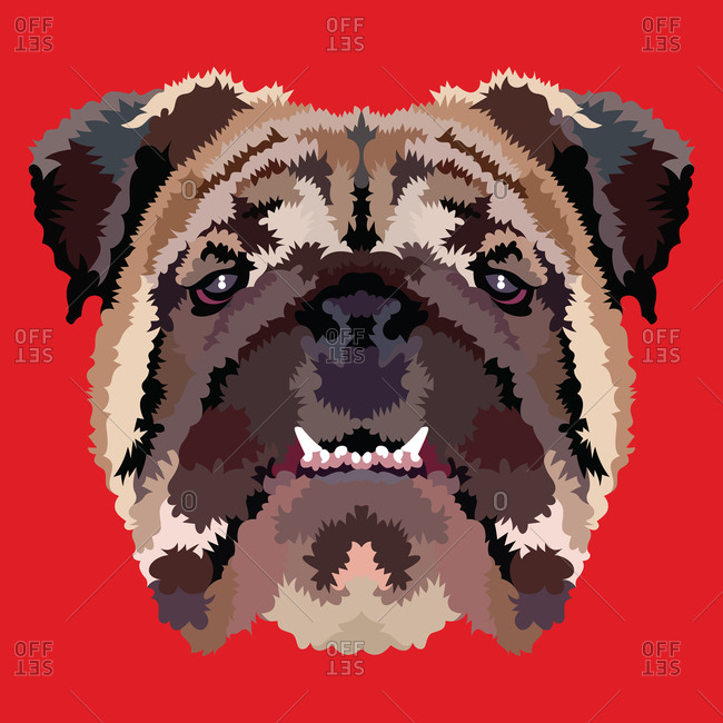 A bulldog portrait