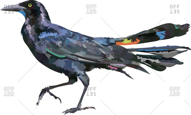 A grackle bird walking