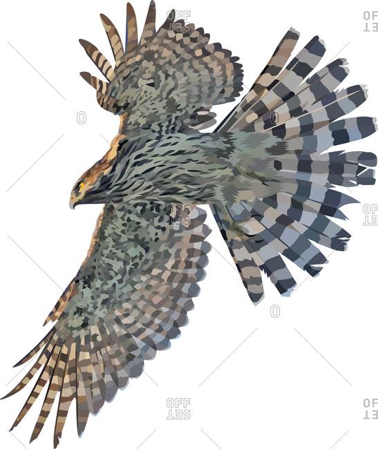 A hawk flying