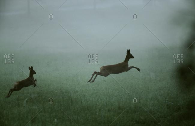 Deer running in grassland - Offset