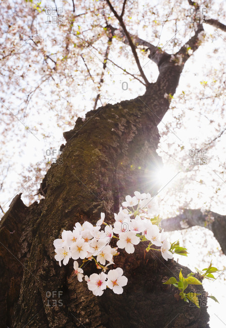 Cherry tree in blossom - Offset