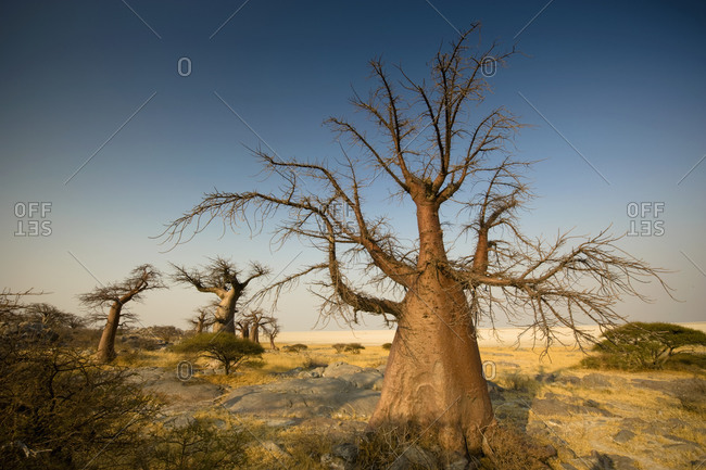 Barren trees on Kubu Island, Botswana