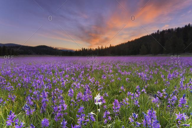 A single white Camas Lily flower in a field of purple flowers atsunrise in Sagehen Meadows near Truckee in California