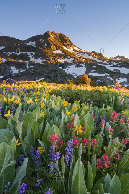Sunset on Roundtop Mountain in the Mokelumne Wilderness with wildflowers in the foreground, California