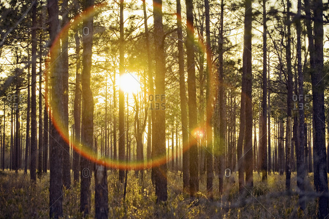 The setting sun creates lens flare and is seen through a grove of pine trees in a part of the Green Swamp in Southeast North Carolina