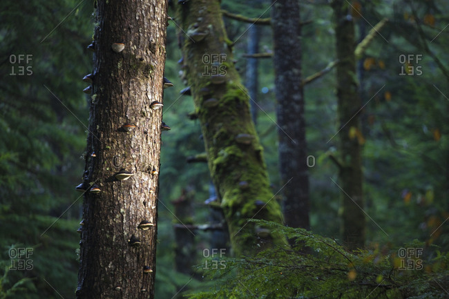 Trees covered in tree fungi in dark forest along the trail to Third Beach, Olympic National Park, Washington