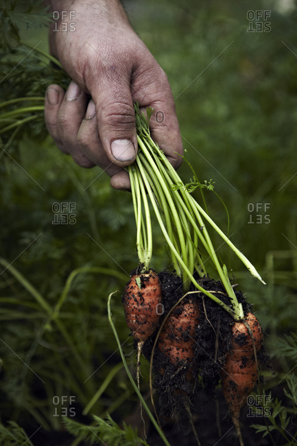A hand while harvesting carrot.