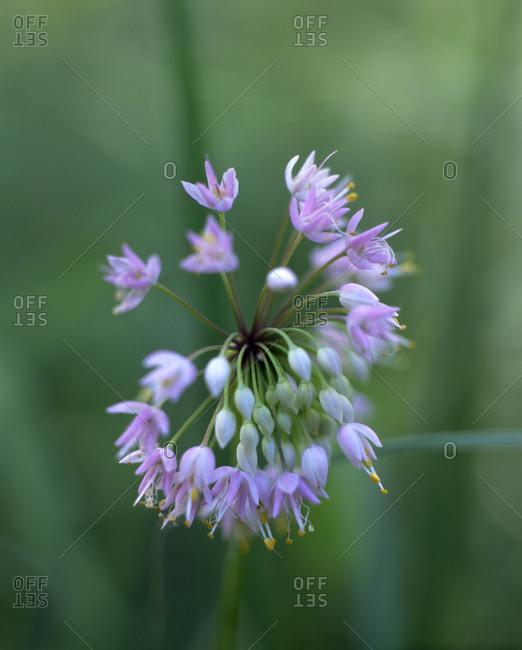 Close up of purple Allium flower