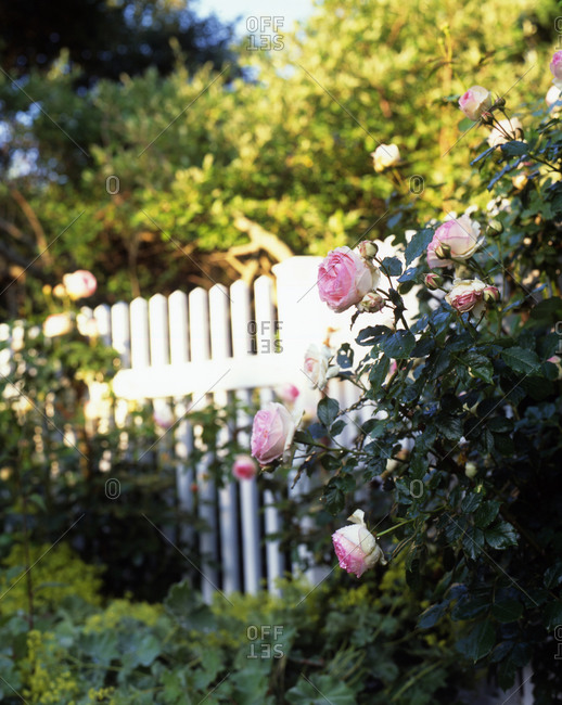 Bush of pink roses in garden