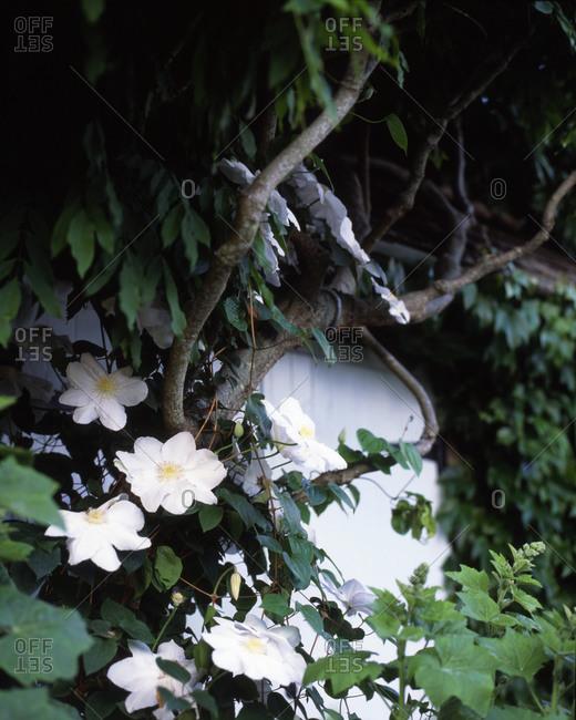 White cosmos flowers in a lush garden