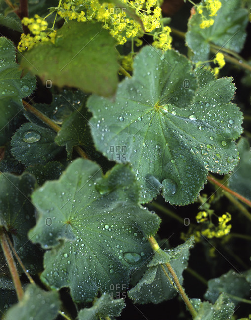 Close up of water drops on green leaves
