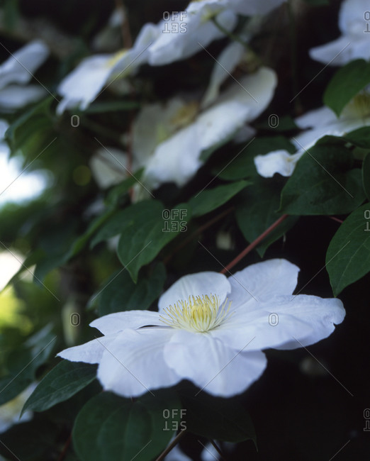 Close up of white Cosmos flowers in garden