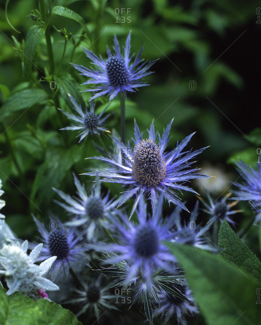 Close up of blue flowers in a lush garden
