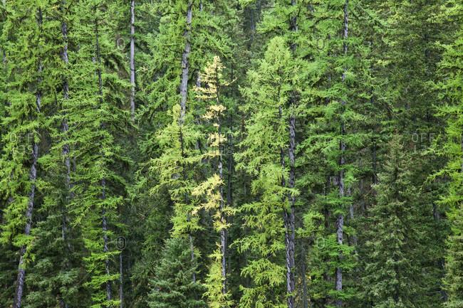 Tamarack Trees Changing Color Amongst Evergreens, Montana, USA