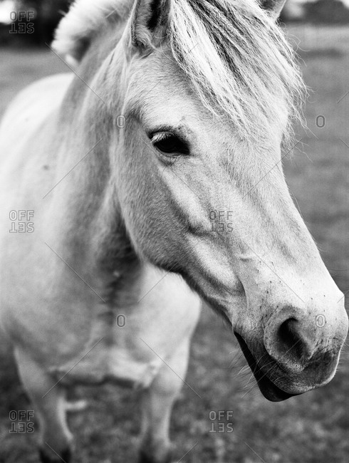 Close-up of white horse in pasture