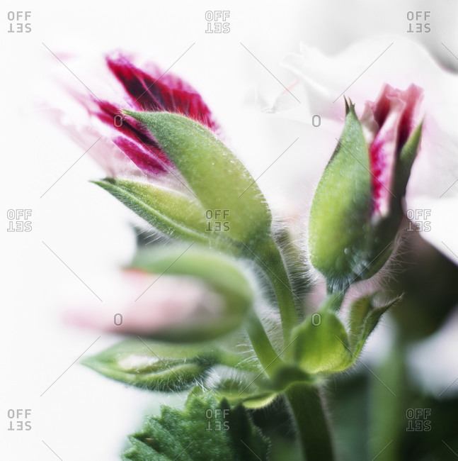 Geranium buds, close-up - Offset Collection