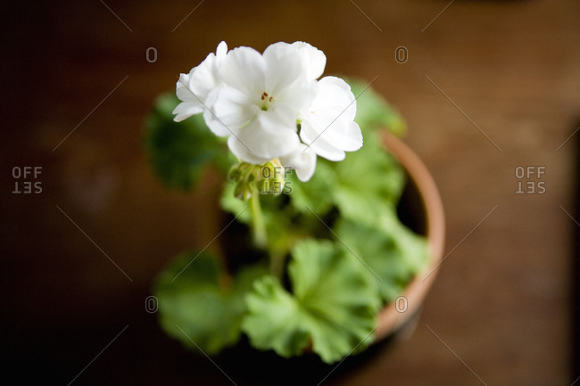 A white geranium photographed from above, close-up