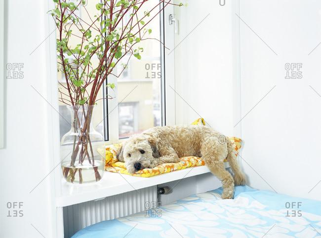 A Soft Coat Wheaten Terrier by a window
