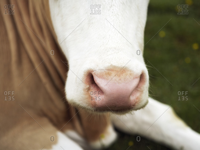 Close-up of the muzzle on a cow