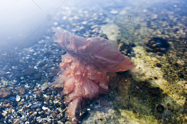 A stinging jellyfish in the water, Sweden