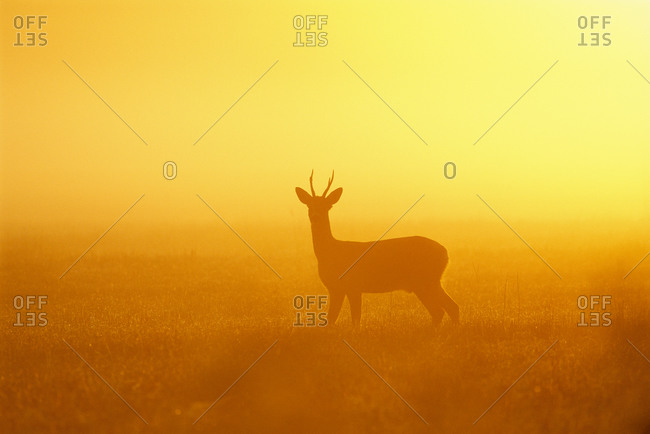 Silhouette of a roe deer at dawn