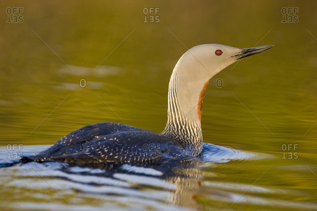 A red-throated diver swimming in the water