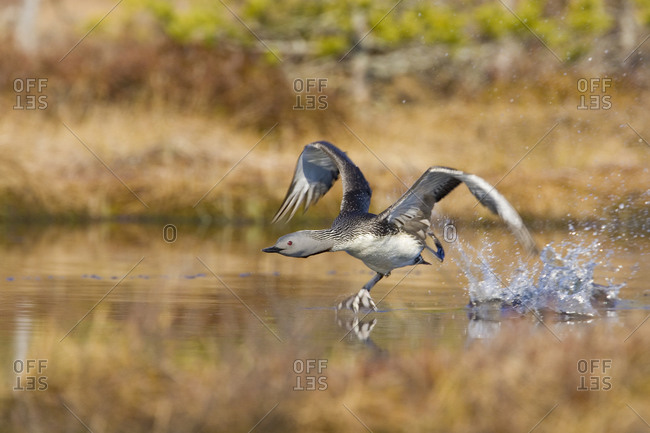A red-throated diver running on the surface of the water, Vastmanland, Sweden
