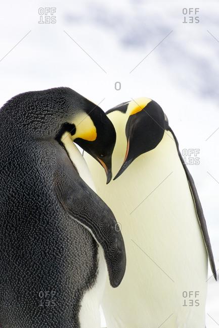 Emperor penguins, the Antarctic