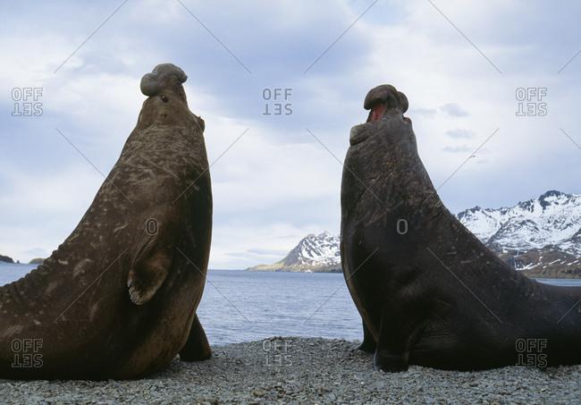 Seal elephants standing by sea