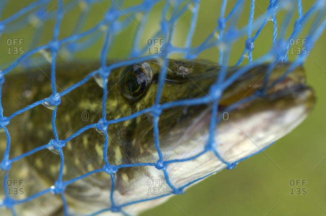Pike caught in net sieve